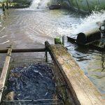 ニホンウナギ稚魚(シラスウナギ)の池入れ動向について